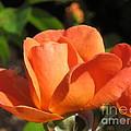 Orange Rose by Lena Photo Art
