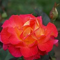 Orange Rose With Pink Petals I by Jacqueline Russell