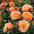 Orange Roses by Carol Groenen