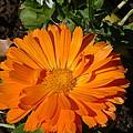 Orange Ruffles by Lorna Hooper