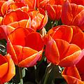 Orange Spring Tulip Flowers Art Prints by Baslee Troutman