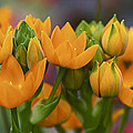 Orange Stars - Floral - Ornithogalum Dubium - Sun Stars by Mother Nature