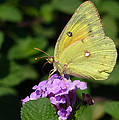 Orange Sulphur by Randall Ingalls