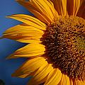 Orange Sunflower by Nicole Berna