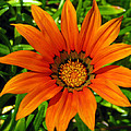 Orange Sunshine by Janice Westerberg