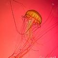 Orange Swimming Jellyfish by Silken Photography