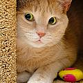 Orange Tabby Cat In Cat Condo by Amy Cicconi