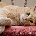Orange Tabby Cat Lying Down by Amy Cicconi