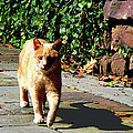 Orange Tabby Taking A Walk by Susan Savad