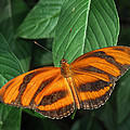 Orange Tiger Butterfly Or Banded Orange by David and Carol Kelly