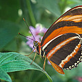 Orange Tiger Or Banded Orange Butterfly by David and Carol Kelly