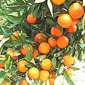 Orange Trees With Fruits On Plantation by Jeelan Clark