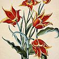 Orange Tulip by Conrad Gesner