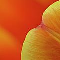 Orange Tulip Petal Detail by Gary Eason