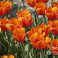 Orange Tulips  by Patricia Hofmeester