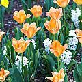 Orange Tulips by William Beverly
