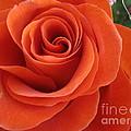 Orange Twist Rose 2 by Tara  Shalton