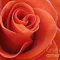 Orange Twist Rose 3 by Tara  Shalton