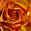 Orange Variegated Rose by Jacklyn Duryea Fraizer