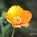 Orange Welsh Poppy by Terri Waters