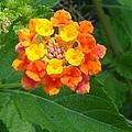 Orange Wildflower by Robert Norcia