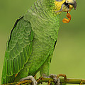 Orange-winged Parrot Amazonian Ecuador by Pete Oxford