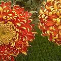 Orange-yellow Chrysanthemums by Stefan Silvestru