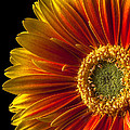Orange Yellow Mum Close Up by Garry Gay