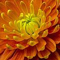 Orange Yellow Mum by Garry Gay