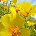 Orange Yellow Poppy Flowers Meadow Art by Baslee Troutman