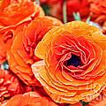 Orange You Happy Ranunculus Flowers By Diana Sainz by Diana Raquel Sainz