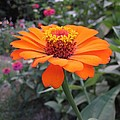 Orange Zinnia by MTBobbins Photography
