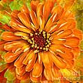 Orange Zinnia by Sari Sauls