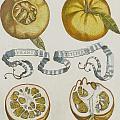 Oranges by Cornelis Bloemaert