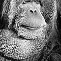 Orangutan 2 by Rich Killion