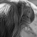 Orangutan Black And White by Dan Sproul