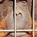 Orangutan Face Watching From Behind Steel Bars by Stephan Pietzko