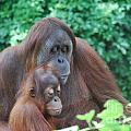 Orangutan Family by DejaVu Designs