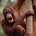 Orangutan Hanging On Tree by Gerry Ellis