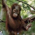 Orangutan Infant Hanging Borneo by Konrad Wothe