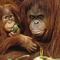 Orangutan Mother And Baby by Gerry Ellis