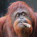 Orangutan Portrait by Dan Sproul