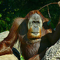 Orangutan Scratches With Stick by Amy Cicconi