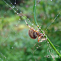 Orb Weaver Spider - Araneus by Mother Nature