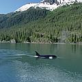 Orca Female Inside Passage Alaska by Konrad Wothe