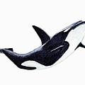 Orca - Killer Whale by Michael Vigliotti