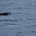 Orca by Mark Ball