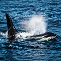 Orca Whale On The Move by Puget  Exposure