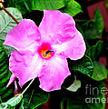 Orchard Colored Mandevilla by Jay Milo