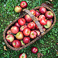 Orchard Fresh Picked Apples by Edward Fielding